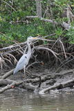 Great Blue Heron in a Swamp Royalty Free Stock Images