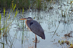 Great Blue Heron in a Swamp Royalty Free Stock Photography