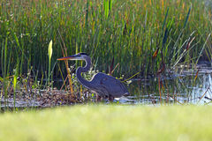 Great Blue Heron in a Swamp Stock Images