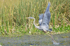 Great Blue Heron Flight royalty free stock images