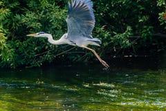 Great blue heron taking flight Stock Image