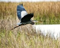 A great blue heron taking flight. stock photos