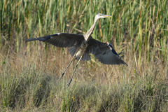 Great Blue Heron Taking Off. Into flight in Everglades National Park stock images