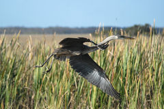 Great Blue Heron Taking Off. Into flight in Everglades National Park royalty free stock image