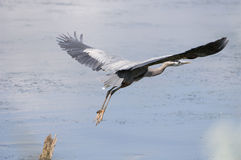 Great Blue Heron taking off Stock Photography