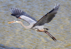 Great Blue Heron Taking Off Royalty Free Stock Photos