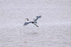 Great Blue Heron taken off in flight from a lake stock photo
