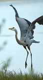 Great blue heron taking off in a Florida marsh. Stock Photo