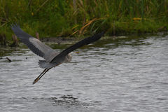 Great Blue Heron taking off royalty free stock image