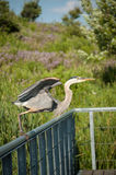 Great Blue Heron Taking Off From a Metal Handrail Royalty Free Stock Photo