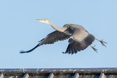 Great blue heron taking off Stock Images
