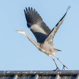 Great blue heron taking off Stock Photos