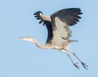 Great blue heron taking off Royalty Free Stock Photos