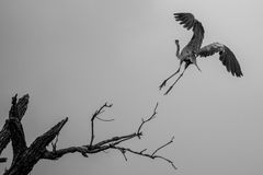 Great Blue Heron. A great blue heron taking off to fly Stock Images