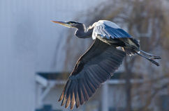 Great Blue Heron Taking To Flight Royalty Free Stock Photography