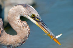 Great Blue Heron With Three Fish Stock Photography