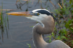 Great Blue Heron with Tongue Sticking Out Stock Photography