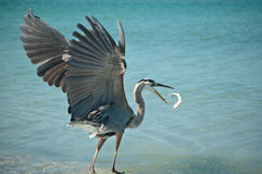 Great Blue Heron Tossing a Fish in the Air. A Great Blue Heron tosses a fish that it has caught into the air on a Florida beach Stock Photo
