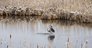 Great Blue heron Tracking a Fish Stock Photo