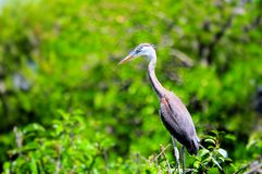 Great Blue Heron on tree top in Florida Stock Images