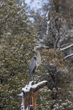 Great Blue Heron in Tree Stock Images