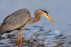 Free Great Blue Heron Trying To Catch Fish Stock Photography - 159710342