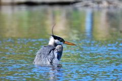 A Great blue heron trying to catch the fish.          closeup royalty free stock photos