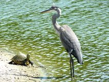 Great Blue Heron & Turtle Royalty Free Stock Images