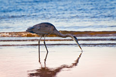 Great Blue Heron Twilight Royalty Free Stock Photo