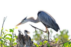 Great blue heron with two chicks in nest Stock Photo