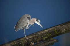 Great Blue Heron. Uncontrollable itch needs scratching Stock Images