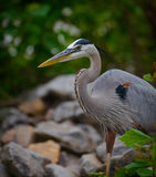 Great Blue Heron Upclose Royalty Free Stock Photography