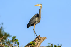 Great Blue Heron at Venice Rookery Stock Images