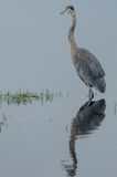 Great Blue Heron Vertical Royalty Free Stock Images