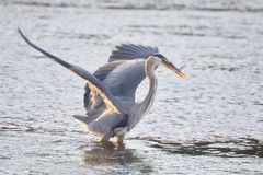 Great Blue Heron, Victoria, BC Royalty Free Stock Image