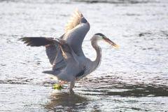 Great Blue Heron, Victoria, BC Royalty Free Stock Photos