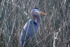 Great blue heron. At the Viera wetlands Stock Image