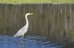 Great Blue Heron wades a pond in Yellowstone. Stock Photos