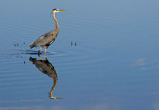 Great Blue Heron wades waters looking for food. Royalty Free Stock Photos