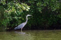 Great Blue Heron wading bird Royalty Free Stock Image