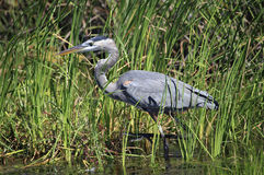 Great Blue Heron Wading Through the Cattails Stock Images