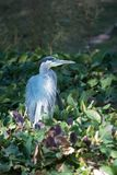 Great Blue heron wading and fishing on lake shoreline. Great Blue heron wading and fishing on leafy lake shoreline in Florida, United States royalty free stock photography