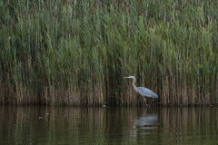 Great Blue Heron Wading by Reeds at Dusk Royalty Free Stock Photo