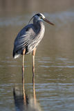Great Blue Heron Wading in a Shallow Pond Stock Photo