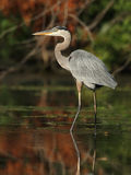 Great Blue Heron Wading in a Shallow River - Ontario, Canada Stock Image
