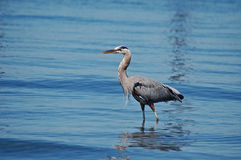 Great Blue Heron Wading in  shallow water Stock Photo