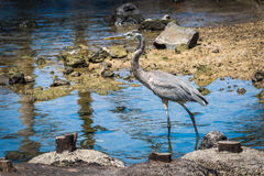 Great blue heron wading slowly through shallows Stock Image