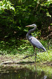 Great Blue Heron Wading Royalty Free Stock Photo