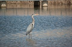 Great Blue Heron Wading in a Suburban Pond Stock Photography