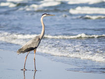 Great blue heron wading through the surf Royalty Free Stock Images